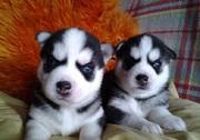 Сибирский хаски щенки для продажи